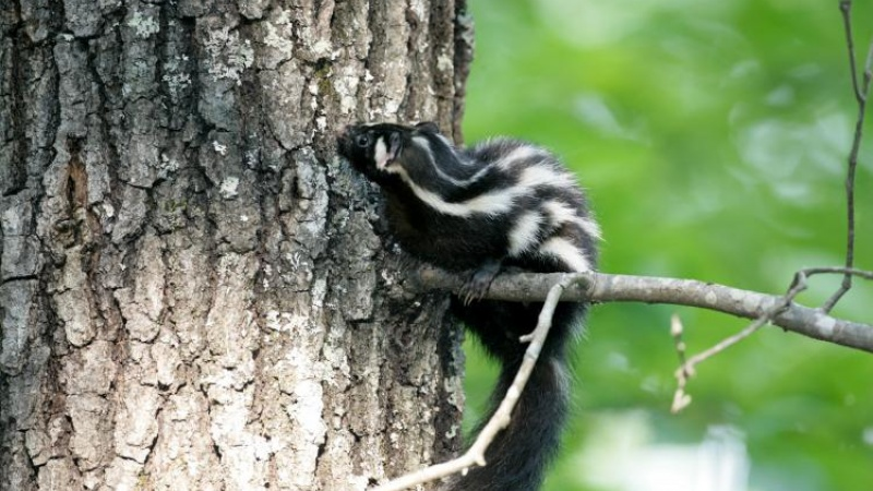 an eastern spotted skunk in a tree